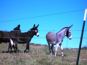 Donkeys with Barbed Wire